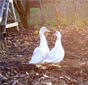 Мускусни патици бели