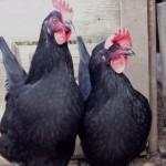 Черна шуменска кокошка (Христо Луканов)